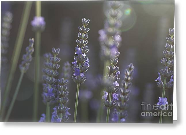 Lavender Flare. Greeting Card by Clare Bambers