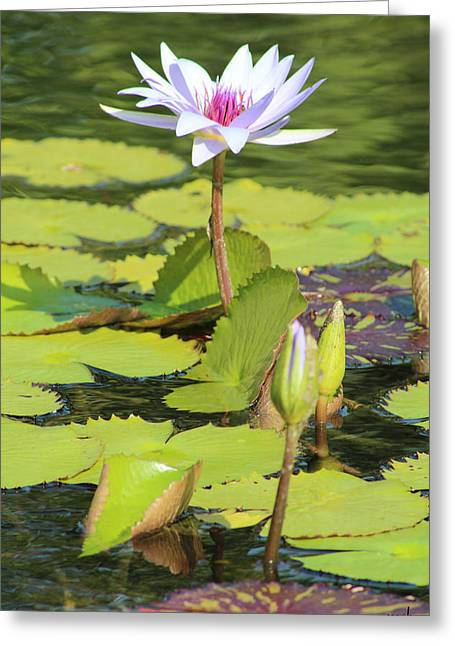 Lavender Flower On A Pond Greeting Card by Mark Steven Burhart