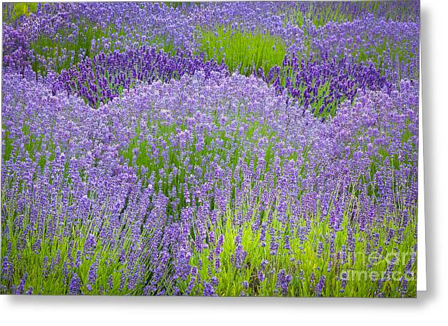 Lavender Flowers Greeting Card by Inge Johnsson