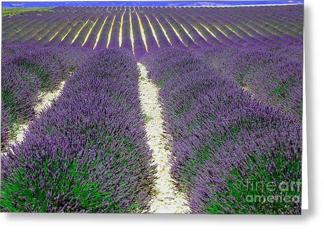 Lavender, French Provence Greeting Card by Adam Sylvester