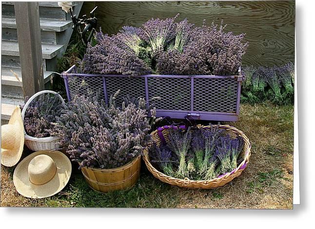 Lavender Harvest Greeting Card