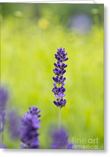 Lavender Hidcote Greeting Card by Tim Gainey