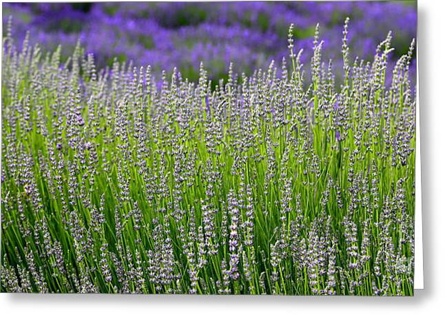 Lavender Layers Greeting Card by Carol Groenen
