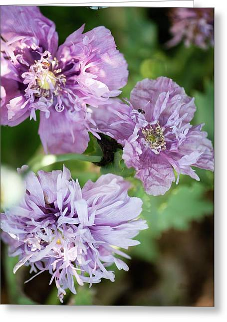 Lavender Peony Poppies Greeting Card