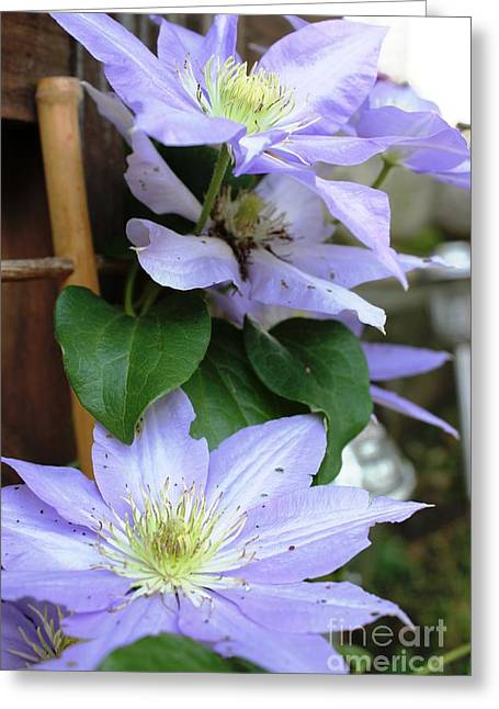 Greeting Card featuring the photograph Lavender Star by Judy Palkimas