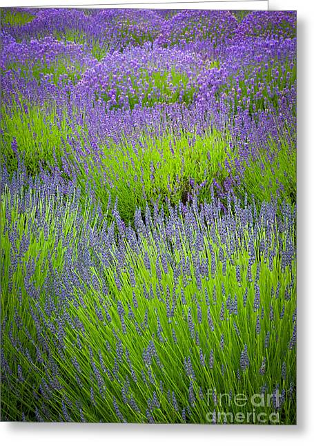 Lavender Study Greeting Card by Inge Johnsson