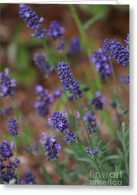 Lavender  Greeting Card by Zori Minkova