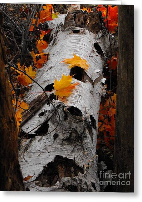 Laying Birch Greeting Card by Erick Schmidt