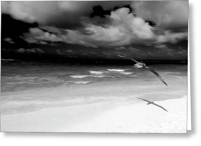 Laysan Albatross French Frigate Shoals Greeting Card by Paul D Stewart