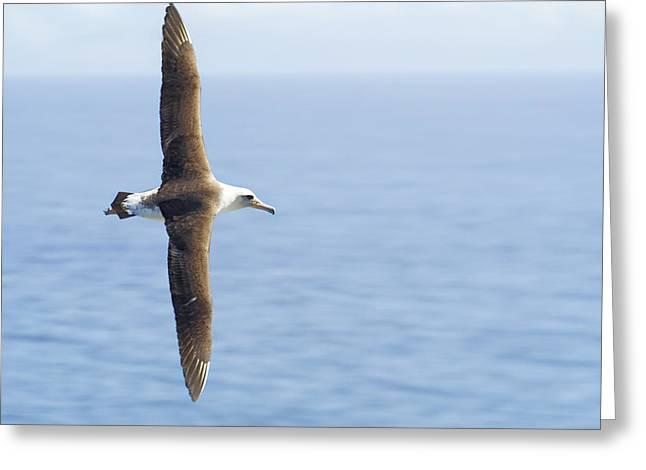 Greeting Card featuring the photograph Laysan Albatross No 1 - Kilauea - Kauai - Hawaii by Belinda Greb