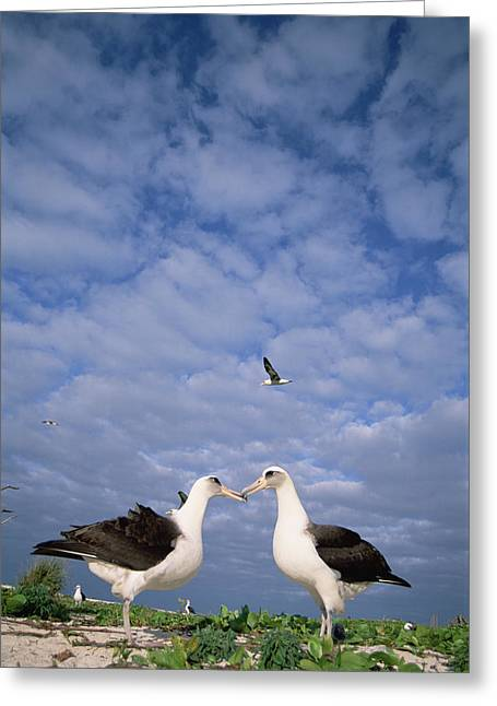 Laysan Albatross Pair Courting Midway Greeting Card by Tui De Roy