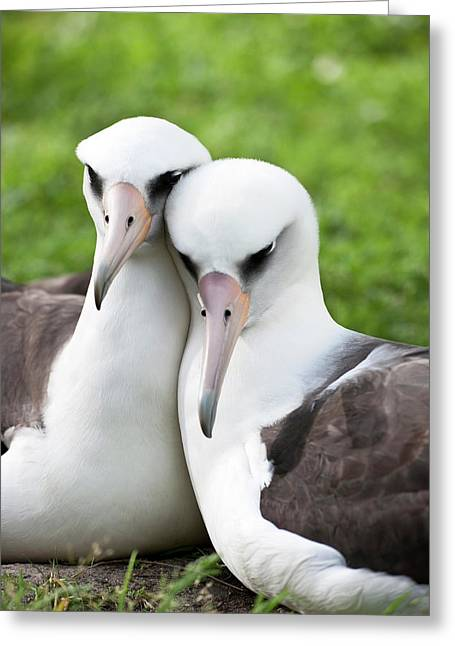 Laysan Albatross (phoebastria Greeting Card by Daisy Gilardini