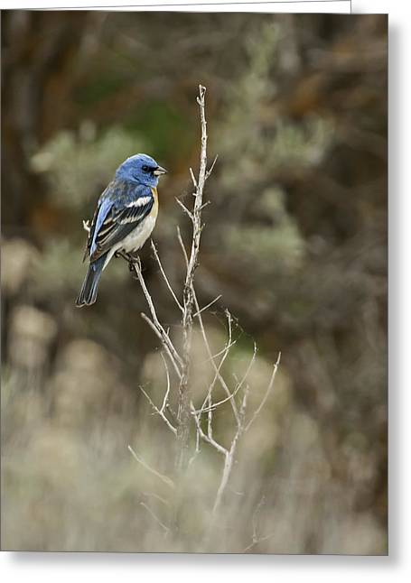 Greeting Card featuring the photograph Lazuli Bunting by Judi Baker