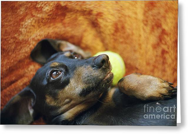 Lazy Dogs Greeting Cards - Lazy  Daschund Greeting Card by Angel  Tarantella