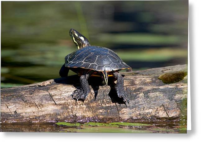 Lazy Day On A Log 6241 Greeting Card