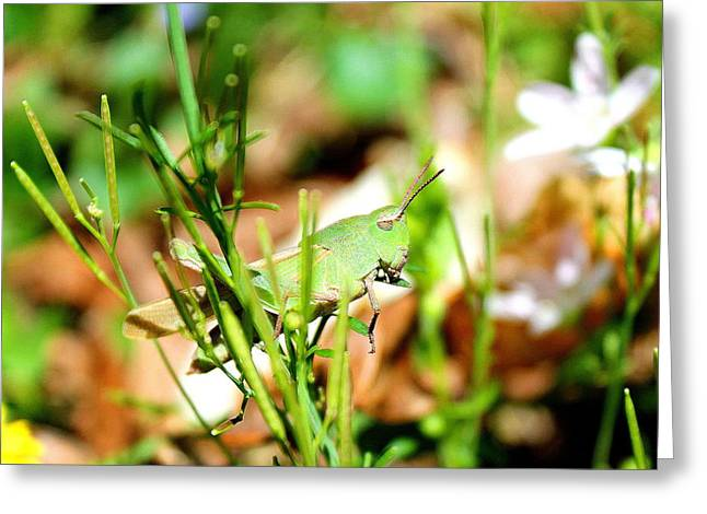 Greeting Card featuring the photograph Lazy Grasshopper  by Candice Trimble