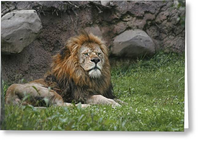 Lazy Lion Greeting Card