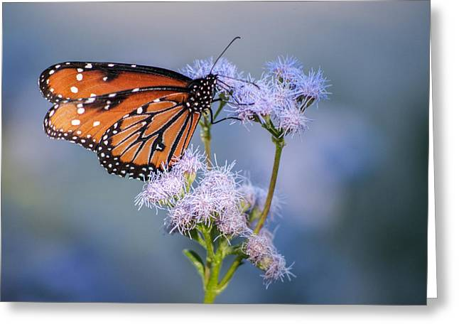 8x10 Metal - Queen Butterfly Greeting Card by Tam Ryan