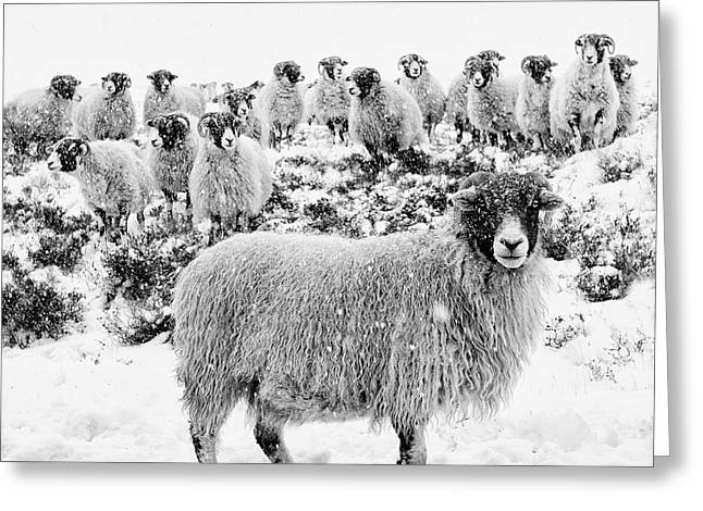 Leader Of The Flock Greeting Card