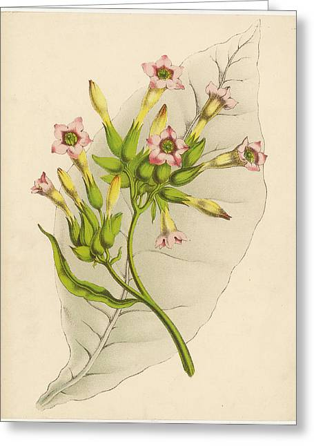Leaf And Flowers Of A Tobacco  Plant Greeting Card by Mary Evans Picture Library