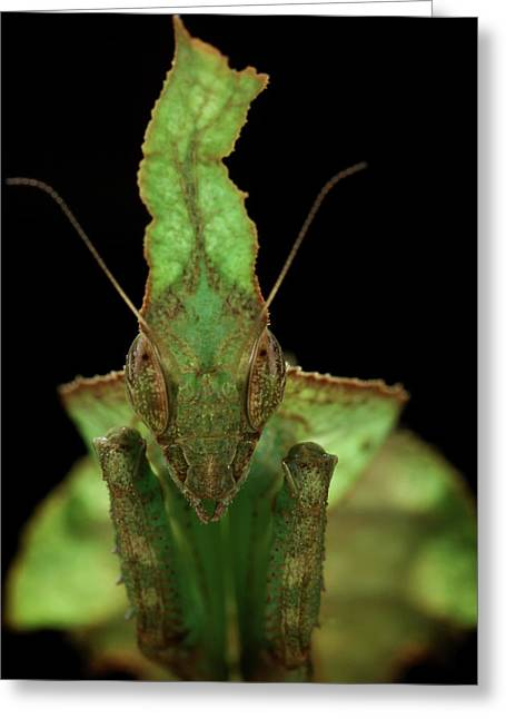 Leaf-mimic Praying Mantis Greeting Card