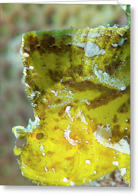 Leaf Scorpionfish On A Reef Greeting Card