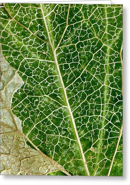 Leaf Skeleton Of Ivy (hedera Helix) Greeting Card by Dr Jeremy Burgess