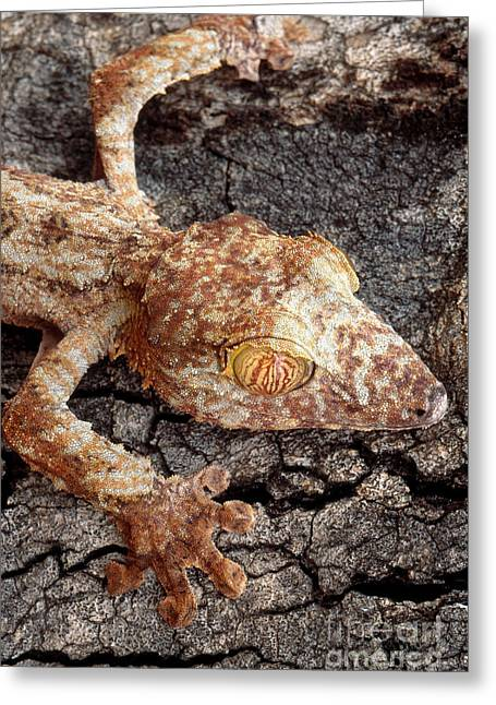 Leaf-tailed Gecko Greeting Card by Art Wolfe