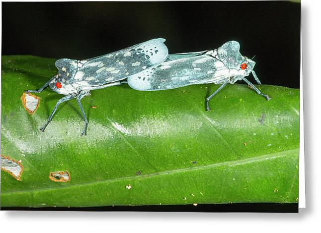 Leafhoppers Mating Greeting Card
