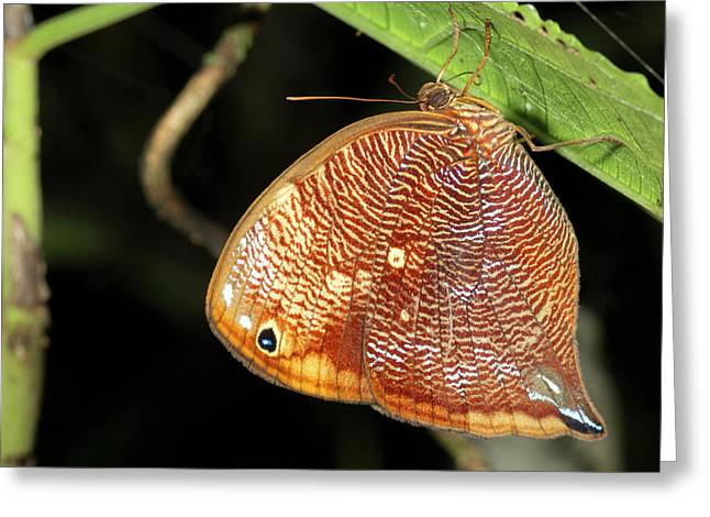 Leafwing Butterfly Roosting At Night Greeting Card by Dr Morley Read