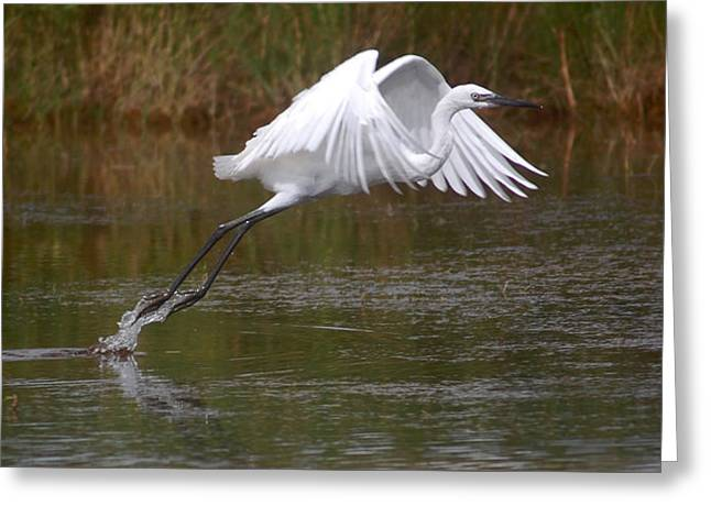 Leaping Egret Greeting Card by Leticia Latocki