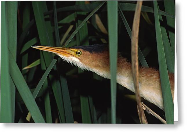 Least Bittern Sneaks Through The Cattails.  983-28 Greeting Card by Mark Wallner