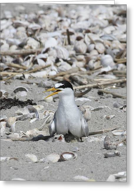 Least Tern Greeting Card by Brian Magnier