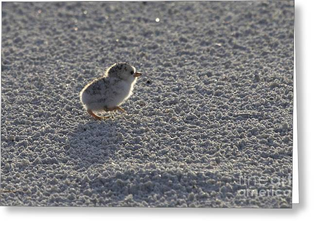 Least Tern Chick Greeting Card by Meg Rousher