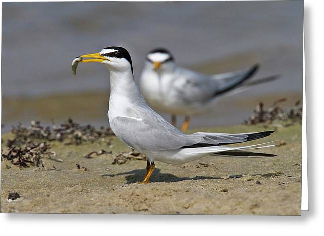 Least Tern (sterna Antillarum, Offering Greeting Card by Larry Ditto