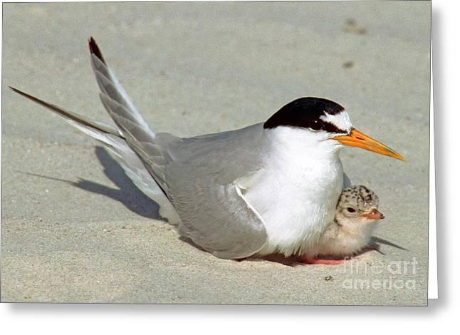 Least Terns Greeting Card by Millard H. Sharp