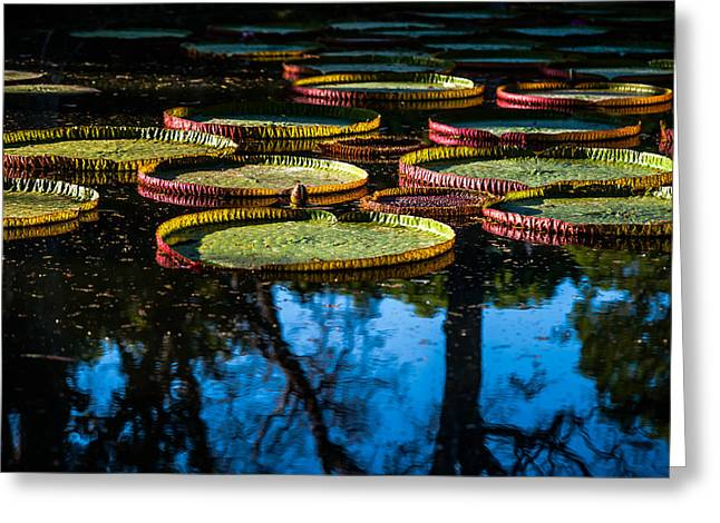 Leaves Of Victoria Regia With Trees Reflections. Royal Botanical Garden In Mauritius Greeting Card