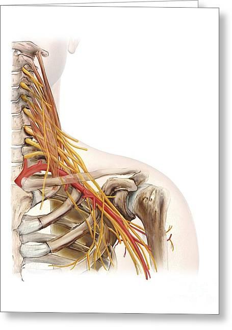 Left Shoulder And Nerve Plexus, Artwork Greeting Card by D & L Graphics