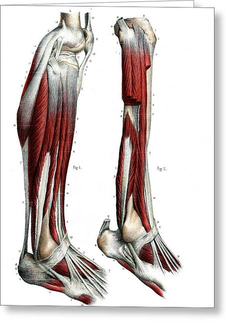 Leg Anatomy Greeting Card by Collection Abecasis