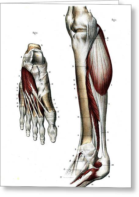 Leg And Foot Muscles Greeting Card by Collection Abecasis