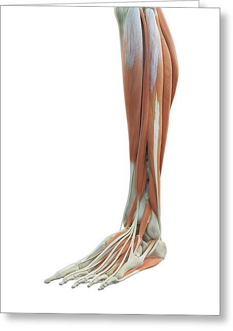 Leg And Foot Muscles Greeting Card by Sciepro