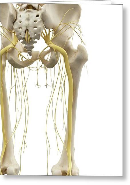 Leg Bones And Nerves Greeting Card
