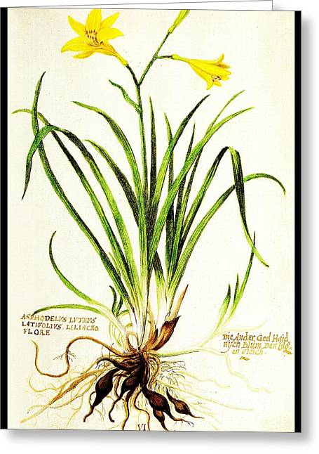 Lemon Daylily Botanical Greeting Card by Rose Santuci-Sofranko