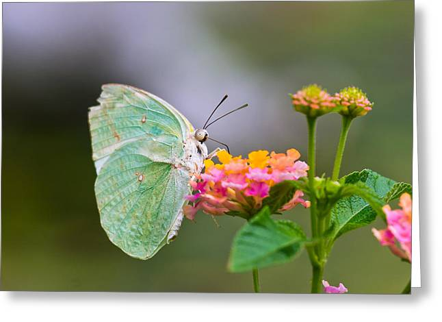 Lemon Emigrant Butterfly Greeting Card