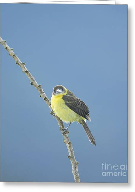 Lemon-rumped Tanager Greeting Card