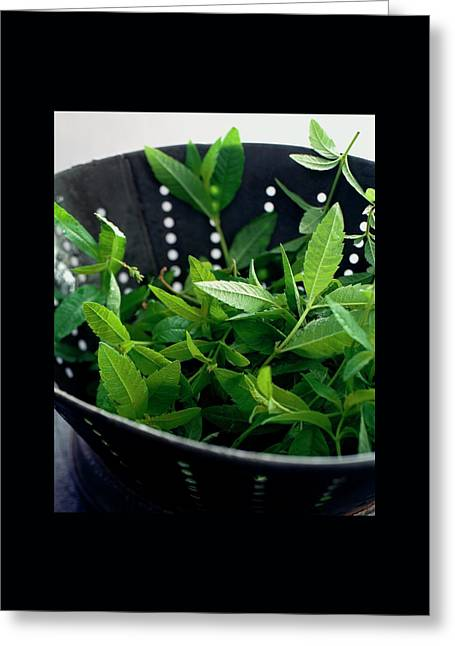 Lemon Verbena Herbs Greeting Card by Romulo Yanes