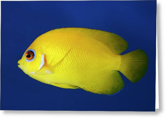 Lemonpeel Angelfish Greeting Card by Nigel Downer