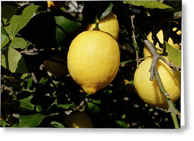 Lemons Growing On Tree, Vinaros Greeting Card by Panoramic Images