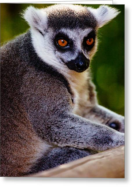 Lemur Closeup Greeting Card