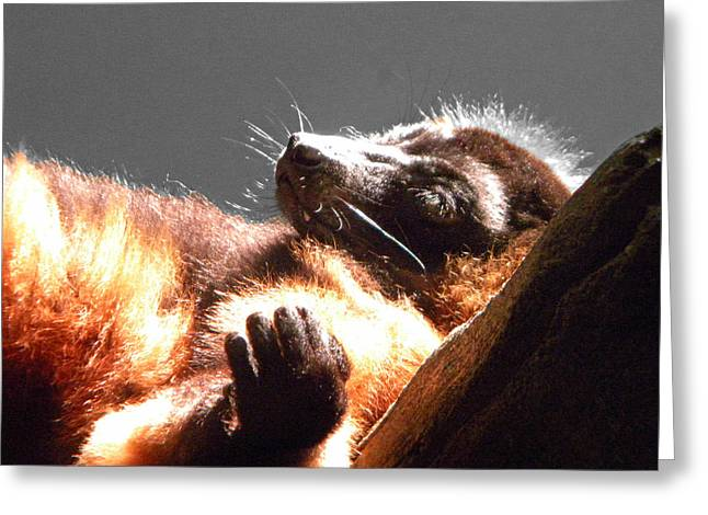 Lemur Lounging Greeting Card by Phillip W Strunk